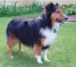 Testimonials pentine pet grooming sue grooms my sheltie petunia and she is the best she is very loving and caring with my dog and does the most awesome job she looks beautiful happy when solutioingenieria